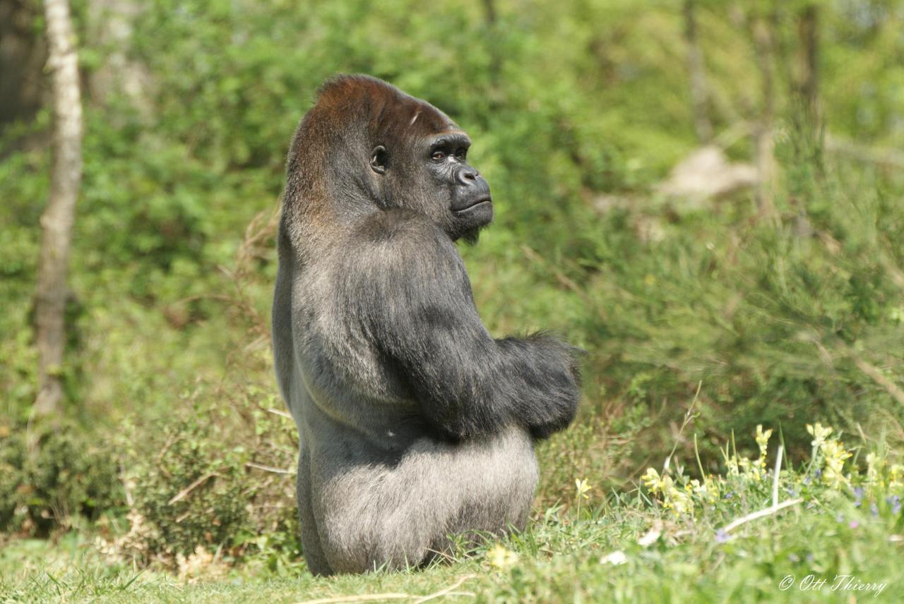 Fabulous à dos argenté ( Gorilla gorilla ) DU81