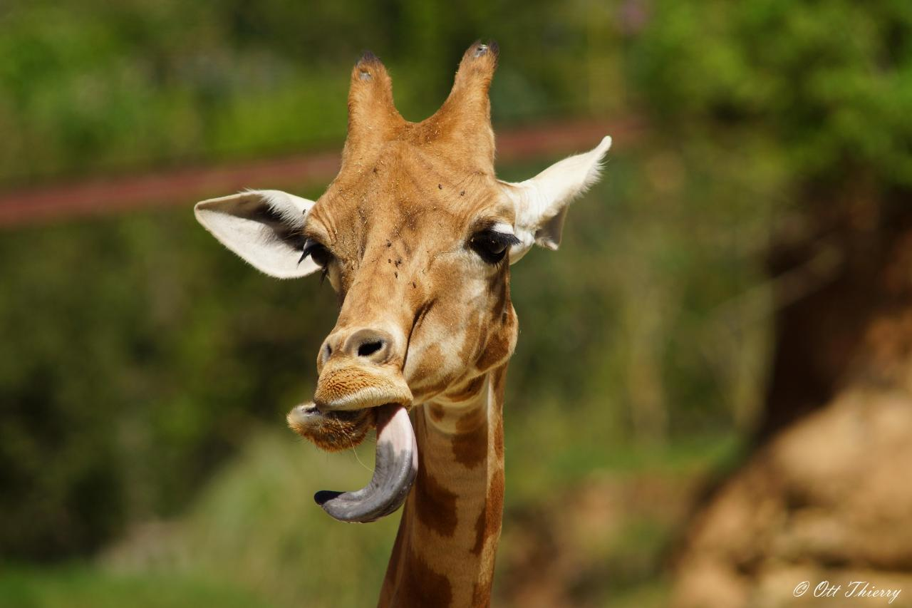 U Camelopardalis Mass Girafe Peralta du Nige...